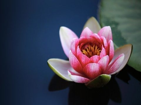 """LOTUS""- The Sacred Flower Of India; Natural Remedy For Digestion & Diarrhea"