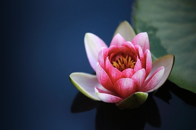 """""""LOTUS""""- The Sacred Flower Of India; Natural Remedy For Digestion & Diarrhea"""