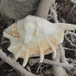 Get True Benefits From Blowing A Conch Shell-Shankh