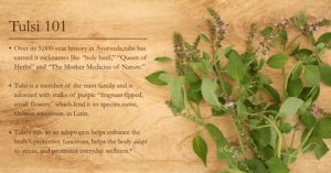 Keep The Tulsi Tree At Home As Hindus Do – Enjoy Its Many Benefits!