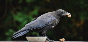 Feed Crows To Get Relieved From Your Ancestor's Debts